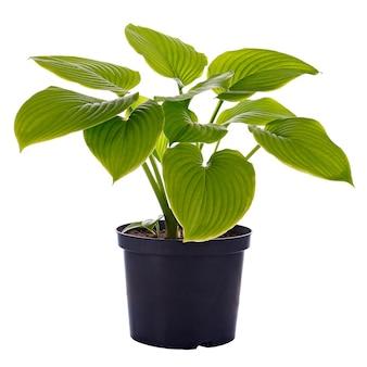 Hosta em um vaso de flores isolado em um fundo branco.