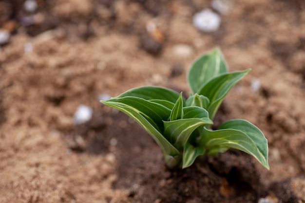 Hostas arbusto em jardim jovem hostas brota com pequenas folhas variegadas em solo fértil e cobertura morta ...