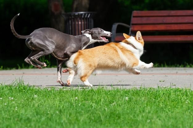Hound greyhound e corgi caminham no parque