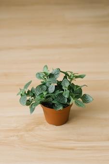 Houseplant fittonia verde escuro com listras brancas em uma panela marrom sobre fundo bege
