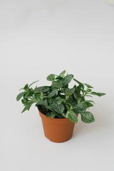 Houseplant fittonia verde escuro com listras brancas em uma panela marrom sobre um fundo branco