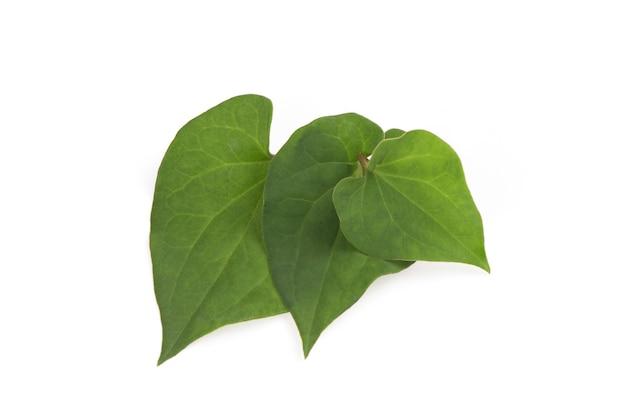 Houttuynia cordata ou plu kaow ramo folhas verdes isoladas na vista de background.top branco, plana leigos.