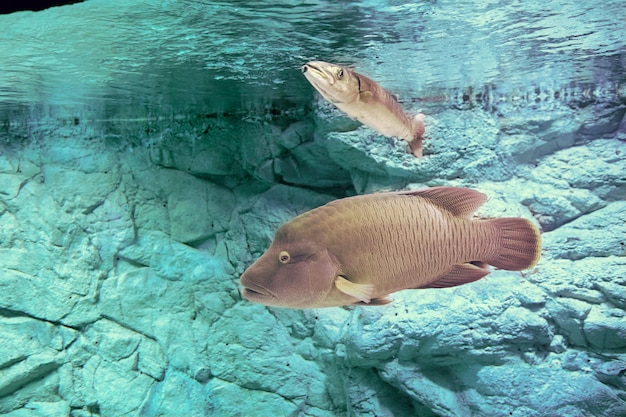 Humphead maori wrasse ou cheilinus undulatus no tanque de peixes de um aquário marinho