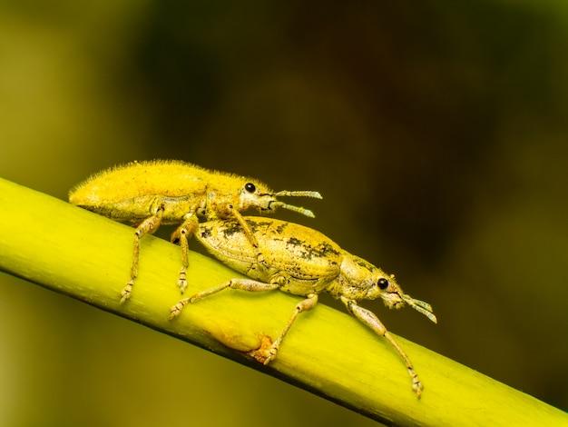 Húmus de pó de ouro hypomeces squamosus fabricius
