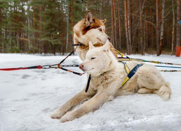 Huskies siberianos brancos e marrons descansando na neve