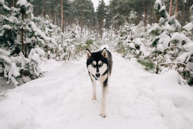 Husky cachorro andando na floresta de pinheiros nevados no dia frio de inverno