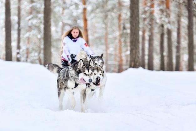 Husky cães de trenó de corrida