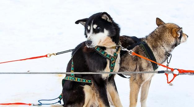 Husky com arnês de férias em kamchatka