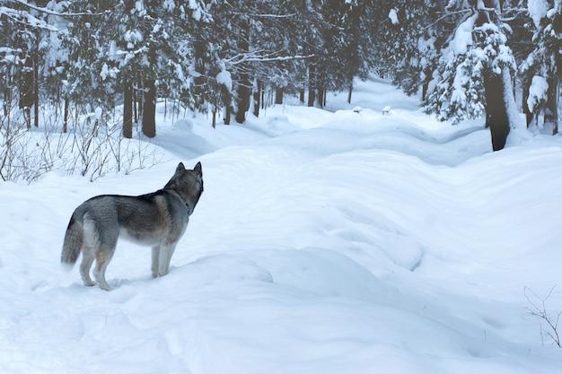 Husky de raça de cachorro cinza fica na pista no parque de inverno e olha para longe, longe do observador.