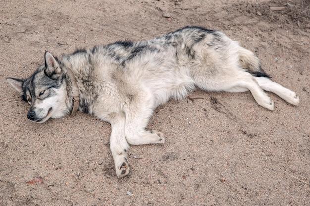 Husky descansando na praia