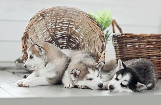 Husky filhotes dormindo