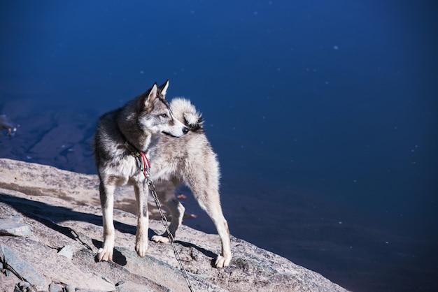 Husky na margem do rio