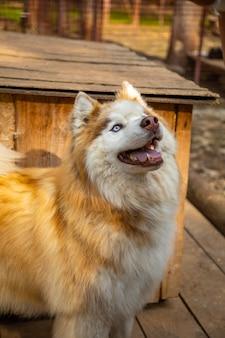 Husky puro-sangue em uma gaiola aberta em uma fazenda de cães em haskiland perto de kemerovo, rússia