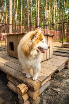 Husky puro-sangue em uma gaiola ao ar livre em uma fazenda de cães em haskiland perto de kemerovo, sibéria, rússia