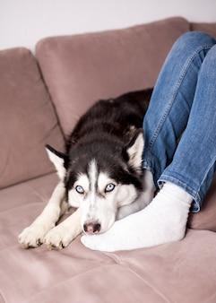 Husky relaxando no sofá