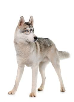 Husky siberiano cinzento
