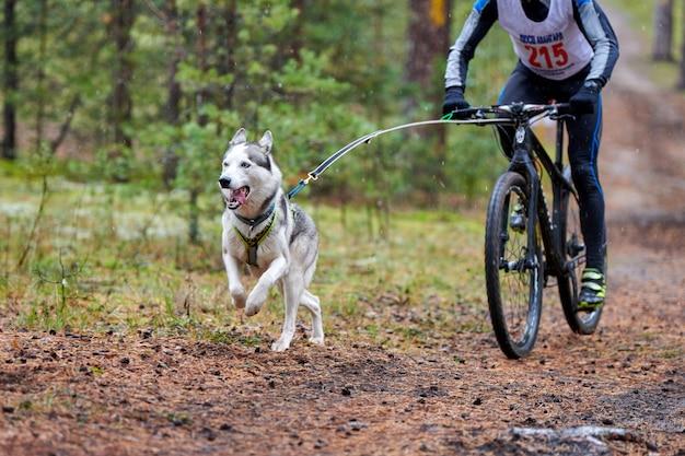Husky siberiano correndo perto de bicicleta