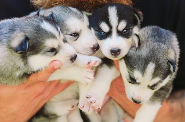 Husky siberiano de filhotes. ninhada de cães nas mãos do criador. cachorrinhos.