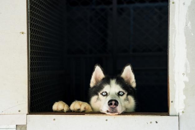Husky siberiano de vista bonito