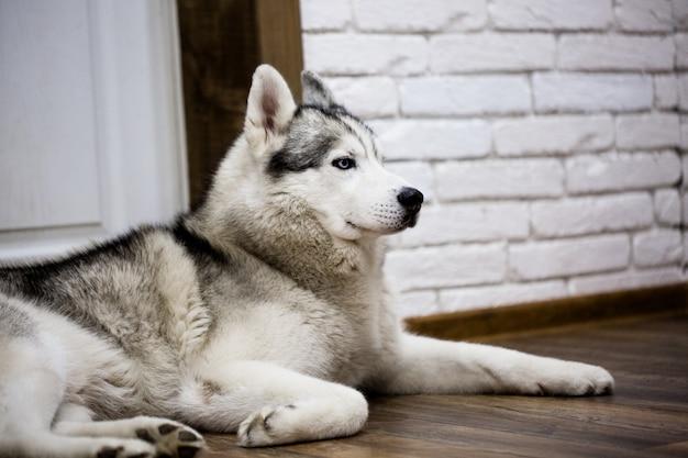 Husky siberiano em casa deitado no chão. estilo de vida com cachorro