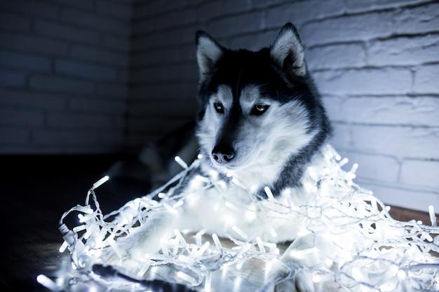 Husky siberiano em luzes de ano novo. estilo de vida com cachorro. fundo da parede de tijolo