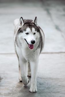 Husky siberiano está andando em uma fazenda, sakonnakhon, tailândia