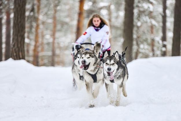 Husky trenó corrida de cães