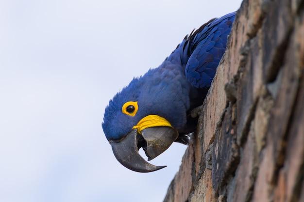 Hyacinth macaw close-up, vida selvagem brasileira. papagaio grande