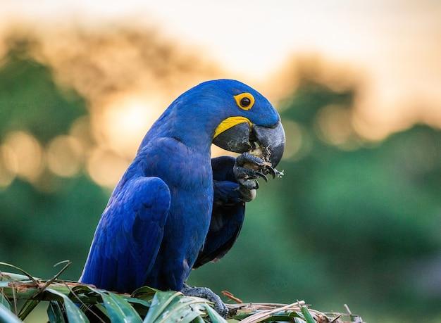 Hyacinth macaw está sentado em uma palmeira e come nozes