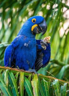 Hyacinth macaw está sentado em uma palmeira e comendo nozes