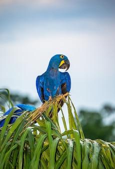 Hyacinth macaw está sentado em uma palmeira