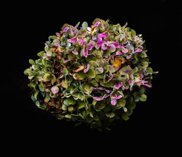 Hydrangea macrophylla (hortência)