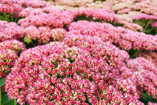 Hylotelephium ou sedum herbstfreude ou stonecrop autumn joy.