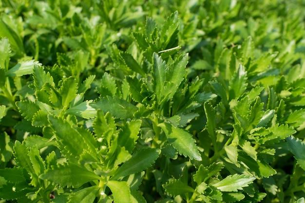 Hylotelephium verticillatum, sedum spectabile, stonecrop vistoso, planta de gelo ou stonecrop de borboleta