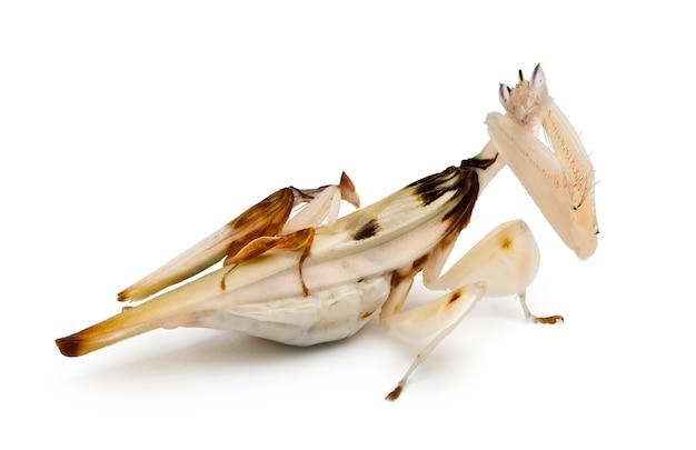 Hymenopus coronatus masculino e feminino, mantis da orquídea da malásia,