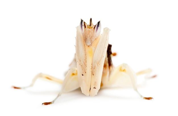 Hymenopus coronatus masculino e feminino, também conhecido como mantis da orquídea da malásia,