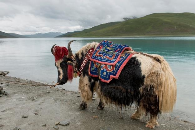 Iaque decorado na frente do lago yamdrok, nagarze, shannan, tibete, china