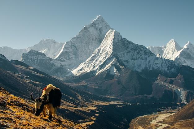 Iaque do himalaia com vista para a montanha. nepal, região de annapurna.