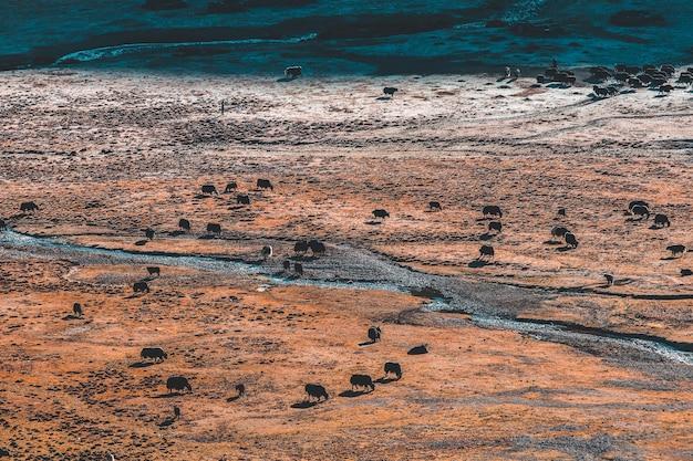 Iaques pretos pastam nas montanhas