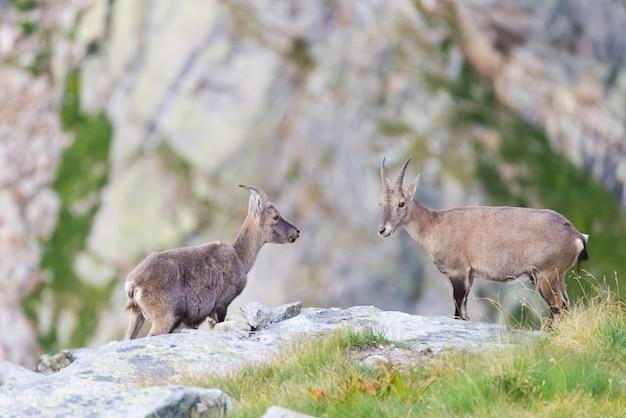 Íbex de duas fêmeas que enfrenta-se na rocha nos cumes franceses italianos.