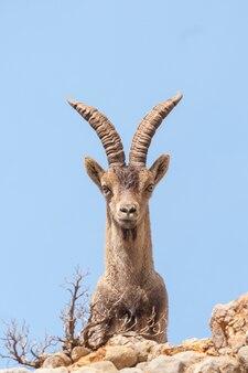 Ibex espanhol capra pyrenaica na natureza, parque natural els portos
