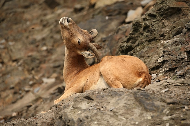 Ibex na área de montanha rochosa