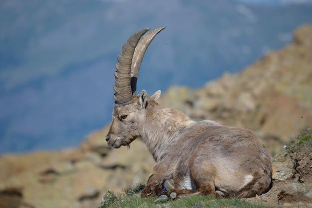 Íbex na rocha, vida selvagem nos alpes