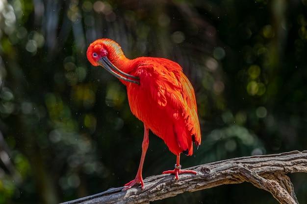 Íbis escarlate ou pássaro vermelho eudocimus ruber da família threskiornithidae.