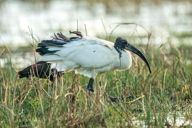 Íbis sagrado africano (threskiornis aethiopicus) escapou de um zoológico da frança no parque natural dos pântanos de ampurdán, girona, catalunha, espanha.