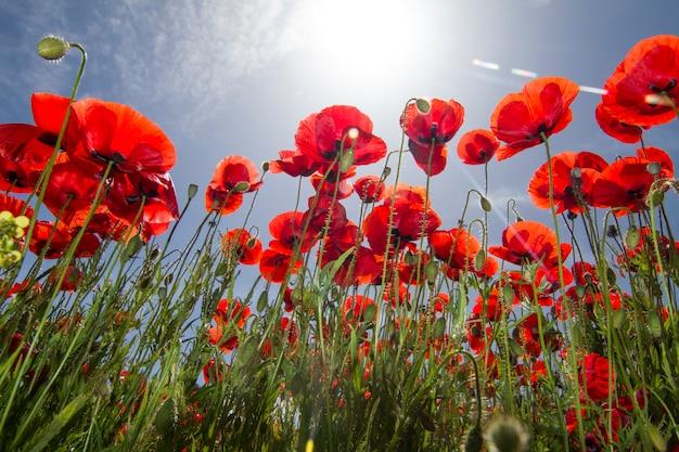 Ideia bonita de um campo de flor vermelho da papoila na mola.