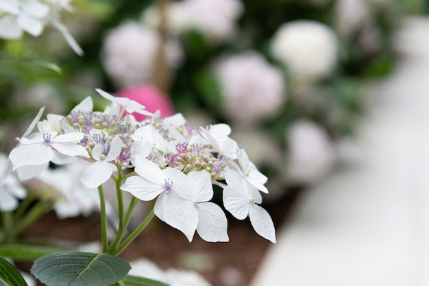 Ideia do close up de uma flor de hortênsia branca.