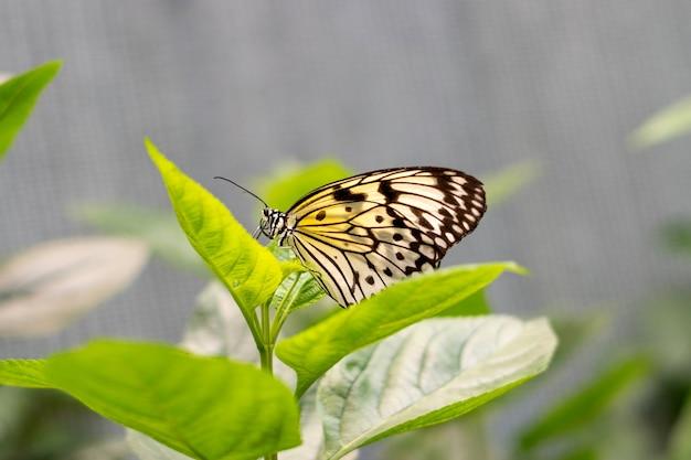 Idéia leuconoe, ninfa da árvore ou borboleta de papel de arroz sentada em folhas verdes ou portas