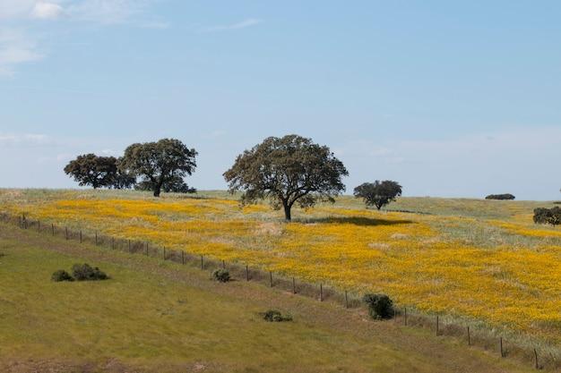 Ideia típica da paisagem da mola no alentejo com margaridas e os carvalhos amarelos da pequena ilha.
