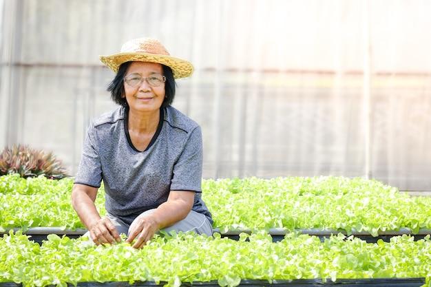 Idosos asiáticos cultivam vegetais orgânicos para salada verde em lotes no solo